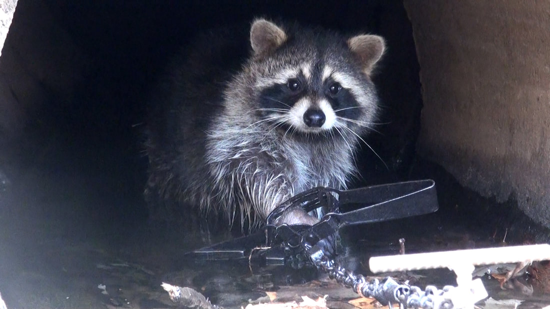 Raccoon in Culvert